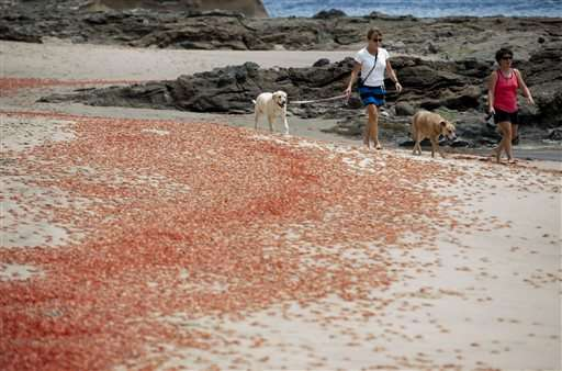 Thousands of tiny red crabs stranding on California beach
