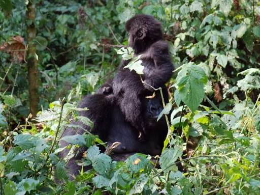 Threatened with extinction, some of the world's last remaining mountain gorillas live on either side of the border between Rwand