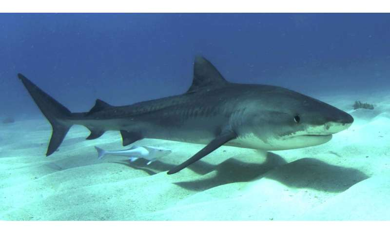 Decline in tiger shark population defies expectations