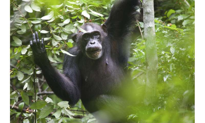 To find energy-rich food, like tropical ripe fruit, is a challenge for chimpanzees