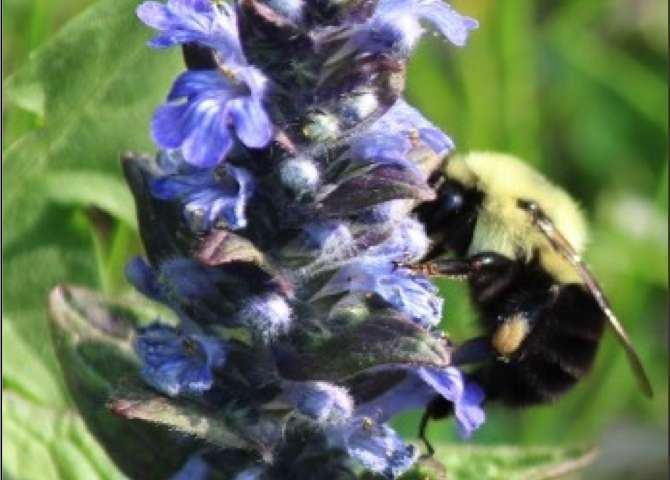 To help bees, skip herbicides and pesticides, keep lawns naturally diverse