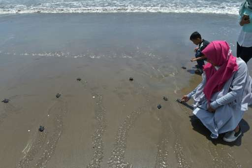 Tourists release turtles, hatched at a conservation centre, into the ocean in Pariaman, West Sumatra