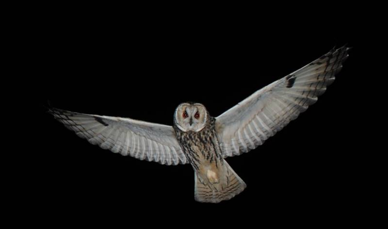 Traffic noise reduces wild owls' foraging efficiency