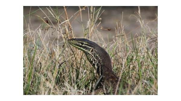 Training wild goannas not to eat cane toads