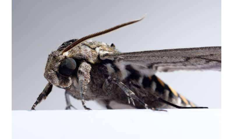 Tricking moths into revealing the computational underpinnings of sensory integration
