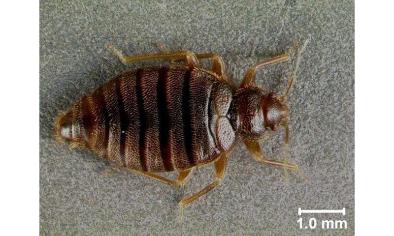 Tropical bedbugs creeping back to florida