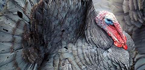 Turkeys were a major part of ancestral Pueblo life