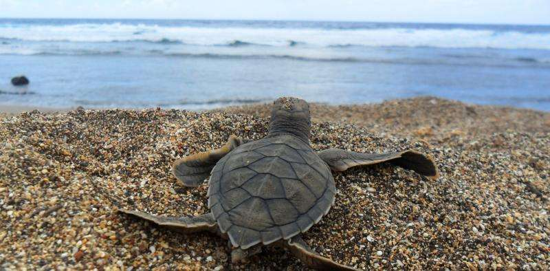 Turtle hatchlings lend each other a flipper to save energy