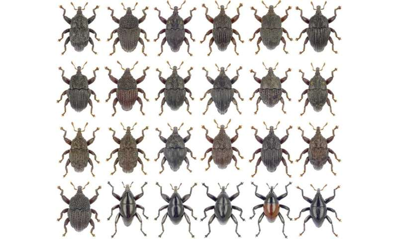Twenty-four new beetle species discovered in Australian rain forests