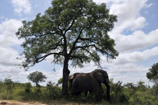 Two elephants are pictured in the Kruger National Park near Nelspruit, South Africa on February 6, 2013
