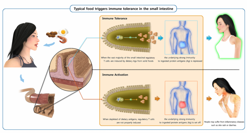 Typical food triggers creation of regulatory T cells