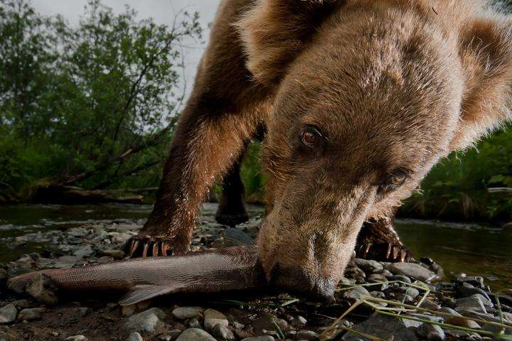UM study: Kodiak bears track salmon runs in Alaska