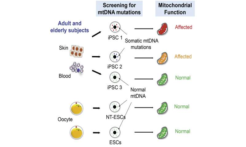 Unchecked mitochondrial DNA mutations could be a problem for stem cell therapies