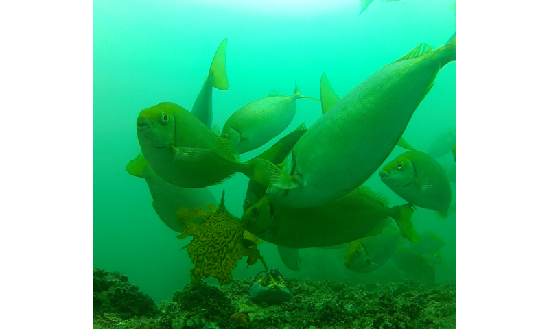 Underwater video reveals culprits behind disappearance of NSW kelp forests