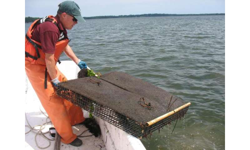 UNH researchers conduct first comprehensive study of NH oyster farming