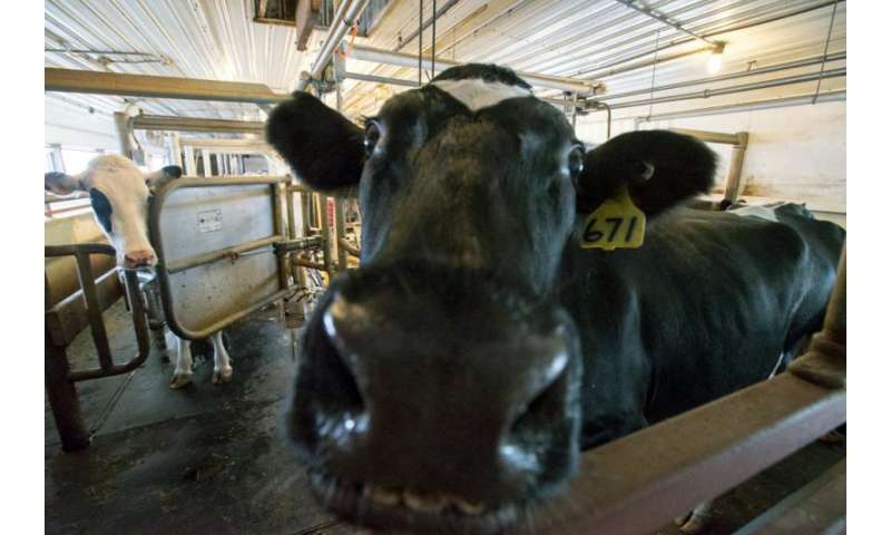 UNH research: Lactation, weather found to predict milk quality in dairy cows