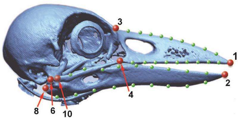 Unique beak evolved with tool use in New Caledonian crow