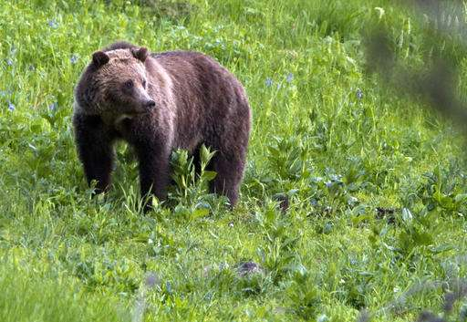 US seeks end to Yellowstone grizzly protections