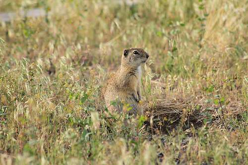 Varmint hunters' ammo selection influences lead exposure in avian scavengers