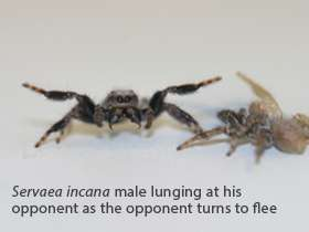 Virtual opponents reveal fighting strategies of male jumping spiders