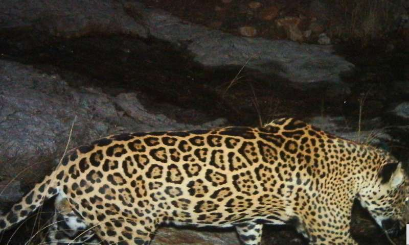 WCS spearheads conservation science for US jaguar recovery plan