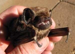 What does the Hawaiian lava-tube bat tell us about bat paleobiogeography?