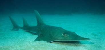 What guitarfish and aircraft wings have in common
