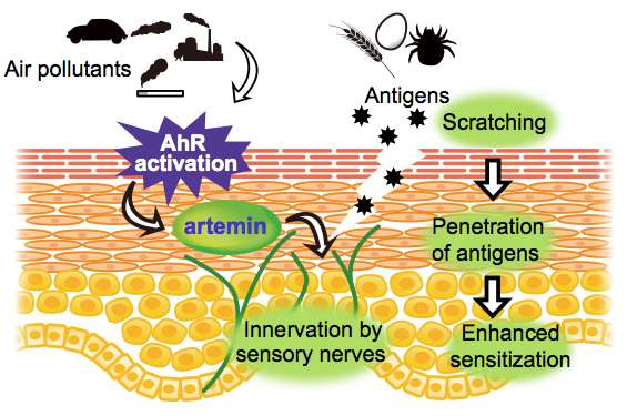 Why air pollutants make some people vulnerable to atopic dermatitis