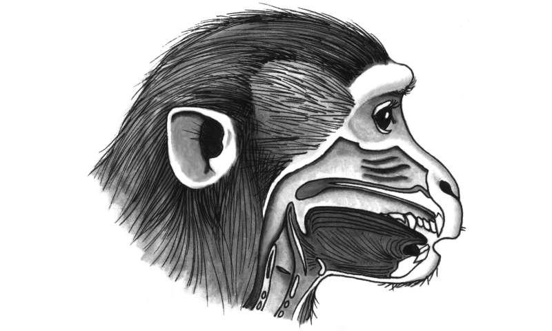 Why can't monkeys speak?