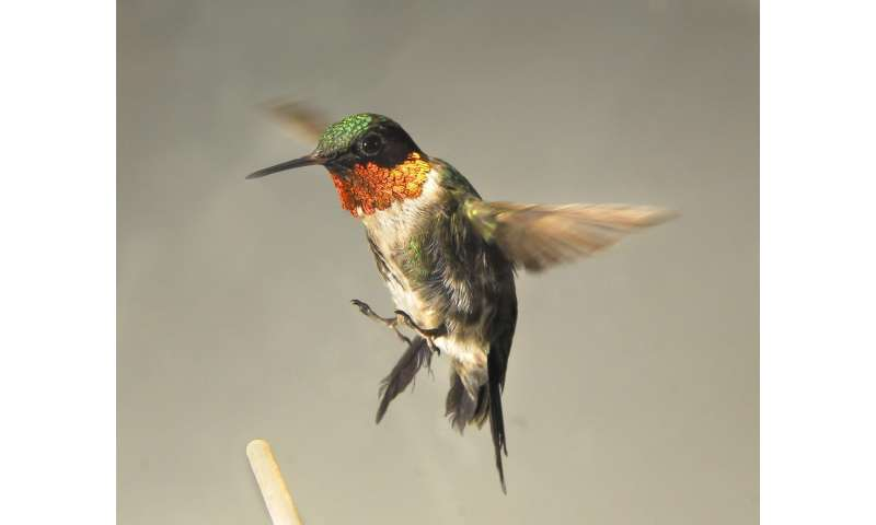 Why some hummingbirds choose to balloon up before flying south
