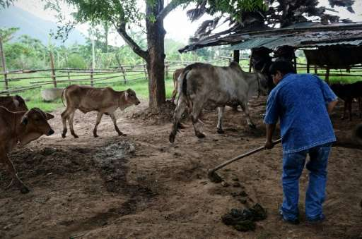 Wisut Janprapai collects cow dung at his father's home in Pa Deng village near the Thai-Myanmar border
