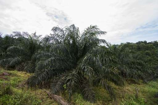 With financing coming from American, European and Asian agri-businesses, palm bunches in Gabon, Cameroon and the Congo Basin are