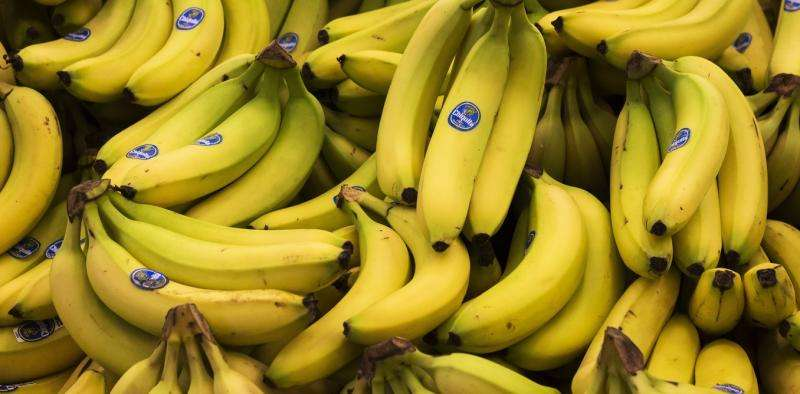 With the familiar Cavendish banana in danger, can science help it survive?