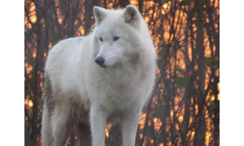 Wolf species have 'howling dialects'