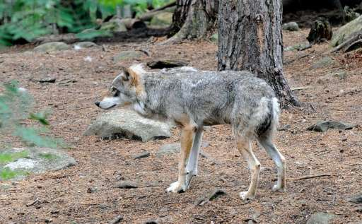 "Wolves are listed as ""critically endangered"" on the 2015 Norwegian list of endangered animals"