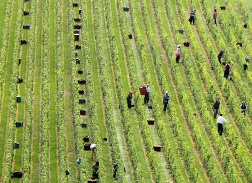 Workers collect grapes at a vineyard in north-central France, launching the Champagne grape harvest