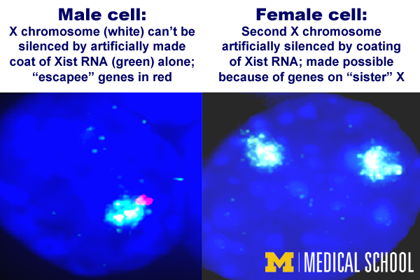 Xistential crisis: Discovery shows there's more to the story in silencing X chromosomes