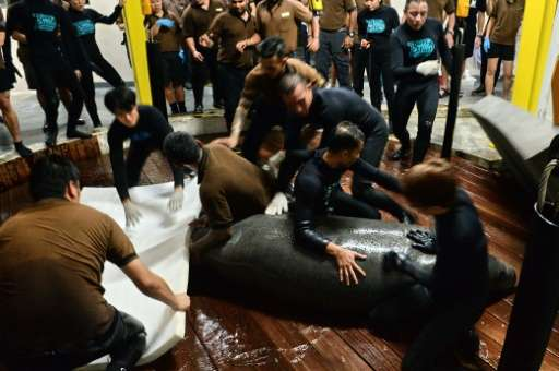 Zoo staff hold Kai, one of the manatees at Singapore's River Safari theme park, before it is transported