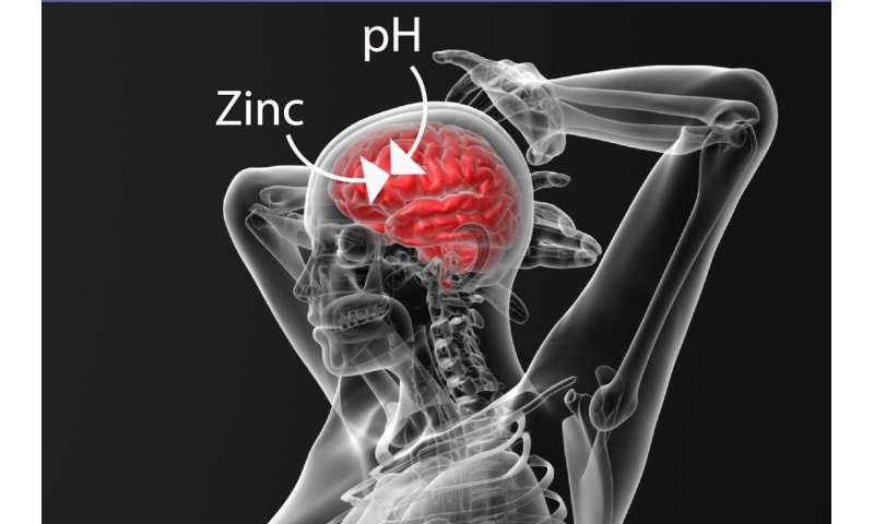 Research finds that Zinc binding is vital for regulating pH levels in the brain