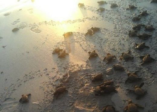 10,000 turtle hatchlings released back into the wild