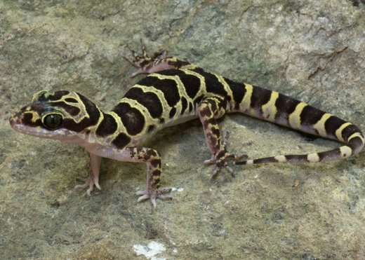 15 new gecko species discovered in Myanmar
