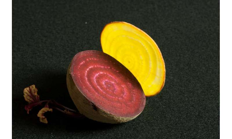 Researchers discover an evolutionary stepping stone to beet-red beets