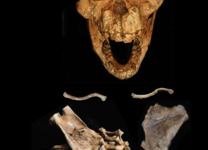 3.3 million-year-old fossil reveals origins of the human spine