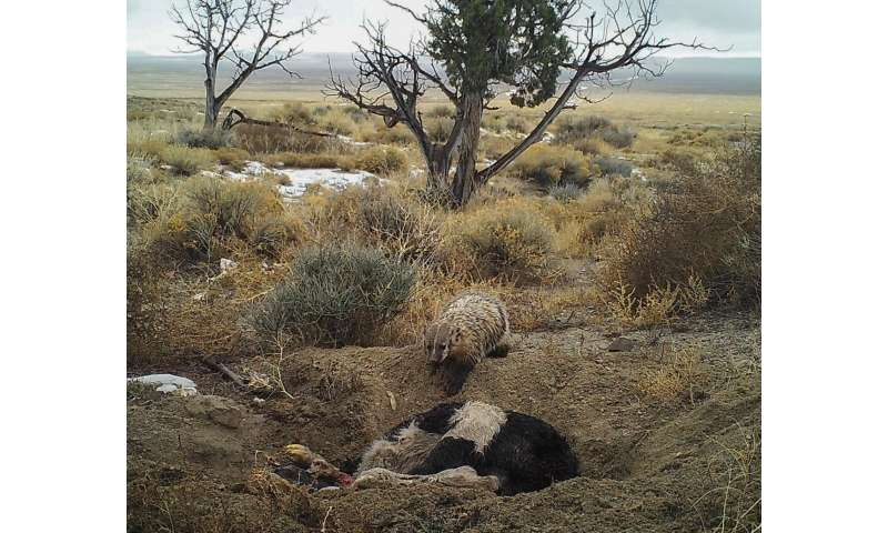 A badger can bury a cow by itself