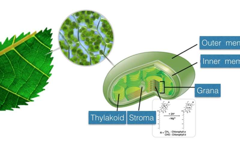 Accelerated chlorophyll reaction in microdroplets to reveal secret of photosynthesis