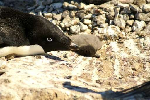 Adelie penguin chicks starve to death at Dumount d'Urville station on Petrels Island on Antartica