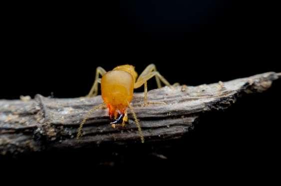 Ants stomp, termites tiptoe—predator detection by a cryptic prey