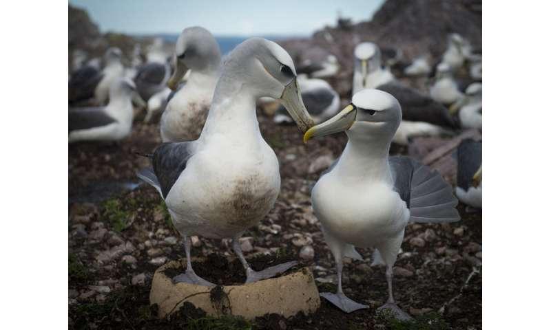Artificial nests aim to increase Shy Albatross breeding success