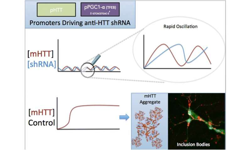 BGRF and SILS scientists analyze viability of shRNA therapy for Huntington's Disease