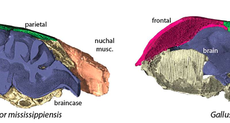 Birds' unique skulls linked to young dinosaur brains